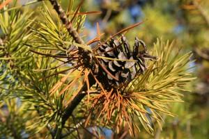 How to Keep Pine Needles Out of Your Gutters - Image 2